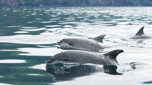 Wildlife Experiences-Pico-Swimming with dolphins from Pico Island in the Azores-1