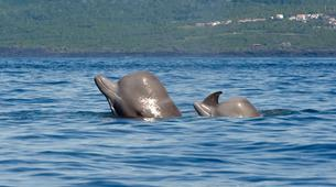Wildlife Experiences-Pico-Whale Watching Excursion from Lajes de Pico in Pico Island-2