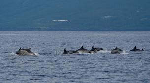 Wildlife Experiences-Pico-Swimming with dolphins from Pico Island in the Azores-5