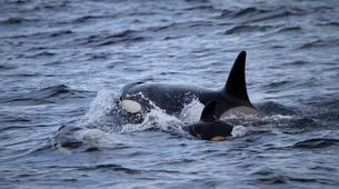 Wildlife Experiences-Alta-Whale Watching from Alta in Norway-6