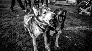 Dog sledding-Kiruna-Kennel Visit and Short Husky Ride, near Kiruna-2