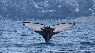 Experiences Wildlife-Tromsø-Whale watching safari cruise from Tromso-4
