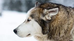 Dog sledding-Avoriaz, Portes du Soleil-Dog Sledding Taster Lesson in Avoriaz, Portes du Soleil-7