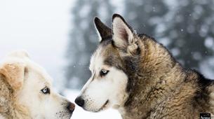 Dog sledding-Avoriaz, Portes du Soleil-Dog Sledding Taster Lesson in Avoriaz, Portes du Soleil-3