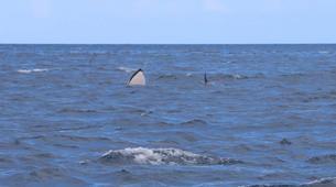 Snorkeling-Les Trois-Îlets-Snorkeling et Observation des Dauphins aux Trois-Îlets, Martinique-12
