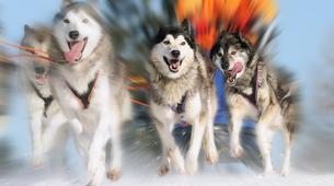 Chiens de traîneau-Tromsø-Dog sledding afternoon excursion in Tromsø-3