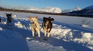 Chiens de traîneau-Tromsø-Dog sledding afternoon excursion in Tromsø-6