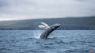 Wildlife Experiences-Dalvík-Whale & Puffin Watching from Dalvík, North of Iceland-1