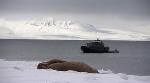 Wildlife Experiences-Svalbard-Speed Boat Trip to a Walrus Colony on Svalbard-5