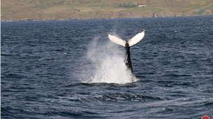 Wildlife Experiences-Dalvík-Whale & Puffin Watching from Dalvík, North of Iceland-2