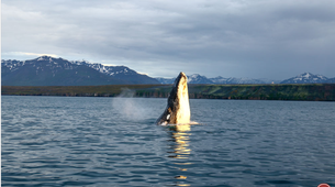 Wildlife Experiences-Dalvík-Whale & Puffin Watching from Dalvík, North of Iceland-4