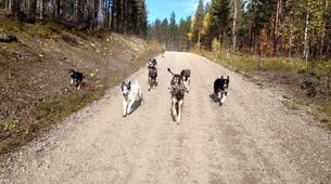Dog sledding-Rovaniemi-Husky cart excursion from Rovaniemi-1