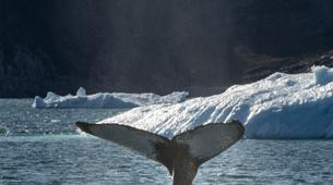 Wildlife Experiences-Oqaatsut-Whale Watching in Disko Bay-3