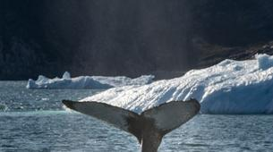 Wildlife Experiences-Oqaatsut-Whale Watching in Disko Bay-1