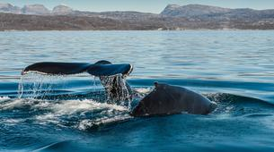 Wildlife Experiences-Oqaatsut-Whale Watching in Disko Bay-4