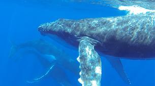 Experiences Wildlife-Bora Bora-Excursion nage et rencontre avec les baleines-5