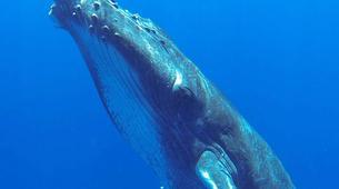 Experiences Wildlife-Bora Bora-Excursion nage et rencontre avec les baleines-2