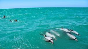 Wildlife Experiences-Akaroa-Swimming with Dolphins in Akaroa-6