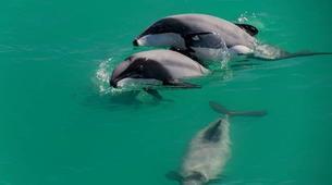 Wildlife Experiences-Akaroa-Swimming with Dolphins in Akaroa-8