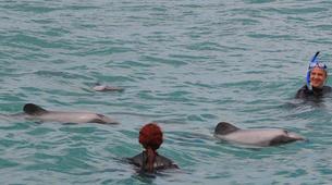 Wildlife Experiences-Akaroa-Swimming with Dolphins in Akaroa-13