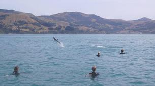 Wildlife Experiences-Akaroa-Swimming with Dolphins in Akaroa-10
