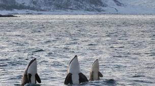 Experiences Wildlife-Tromsø-Whale watching safari cruise & RIB boat from Tromsø-2