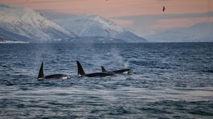 Experiences Wildlife-Tromsø-Whale watching safari cruise & RIB boat from Tromsø-6