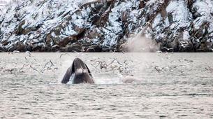 Experiences Wildlife-Tromsø-Whale watching safari cruise & RIB boat from Tromsø-3