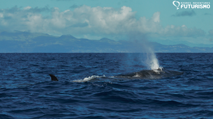 Wildlife Experiences-Pico-Whale watching tour in Lajes do Pico in Pico Island-3