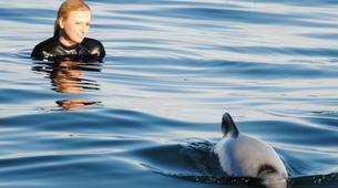 Wildlife Experiences-Akaroa-Swimming with Dolphins in Akaroa-1