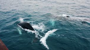 Wildlife Experiences-Reykjavik-Whale watching excursion from Reykjavik-2