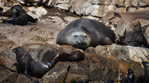 Wildlife Experiences-Plettenberg Bay-Seal viewing tour in the Robberg Nature Reserve-5