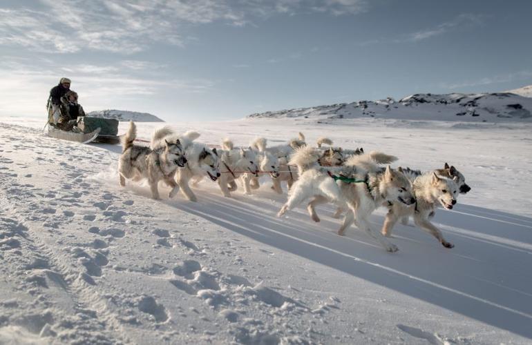 chiens de traineau groeland
